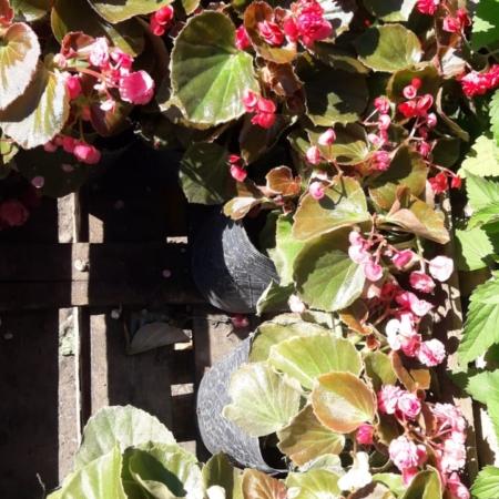 Planta de Flor de Azúcar x maceta