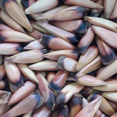 Piñones de Araucaria x 100 grs.